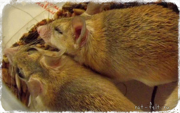 египетская мышь акомис