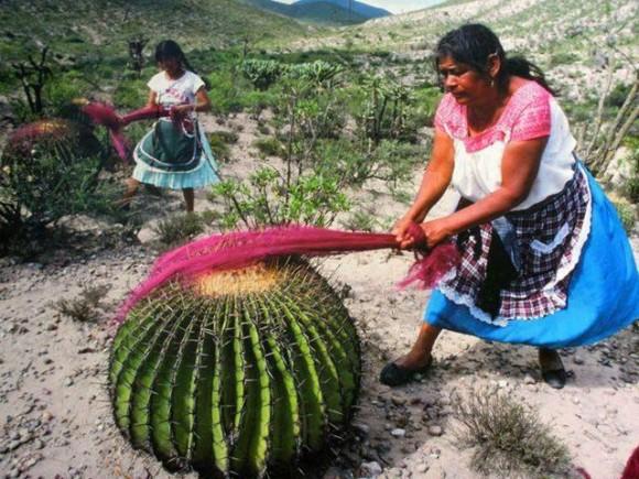 Cactus-carding