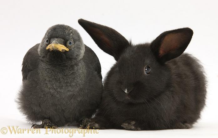 Baby Jackdaw (Corvus monedula) baby black rabbit