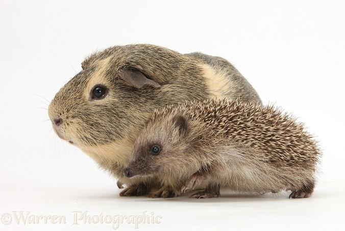 Baby Hedgehog and Guinea pig