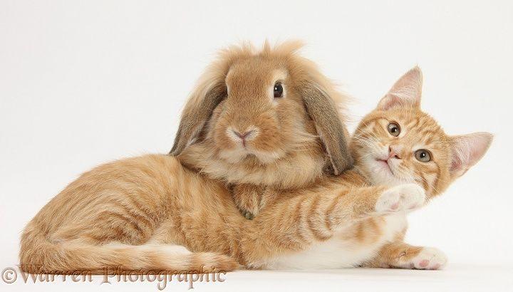 Ginger kitten, Tom, 3 months old, lying with Sandy Lionhead rabbit