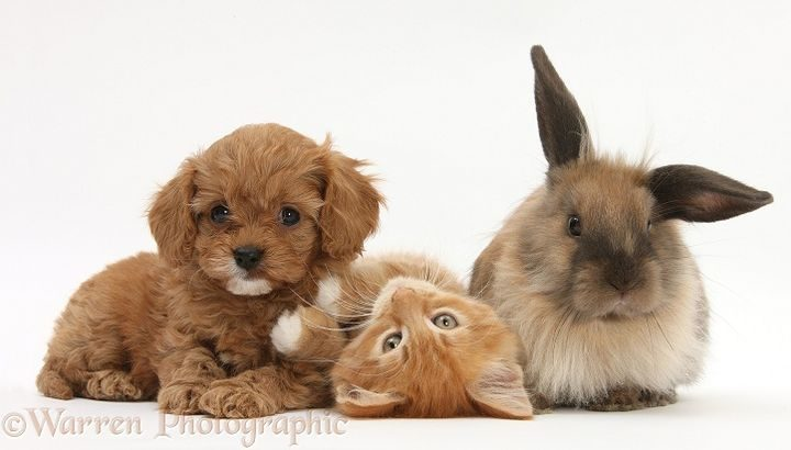 Ginger kitten, Butch, 9 weeks old, with Cavapoo pup and Lionhead rabbit