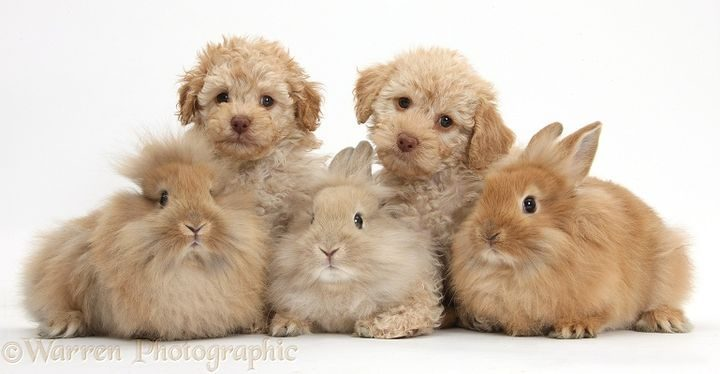 Tow Toy Labradoodle puppies and three Lionhead-cross rabbits