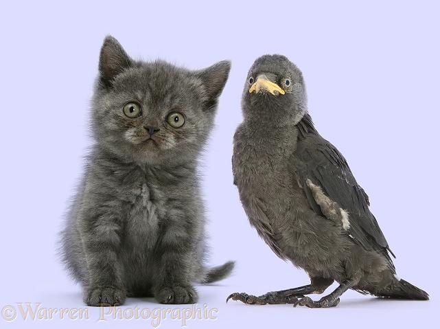 Grey kitten and baby Jackdaw (Corvus monedula)