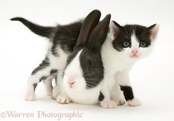 Black-and-white kitten with blue Dutch rabbit