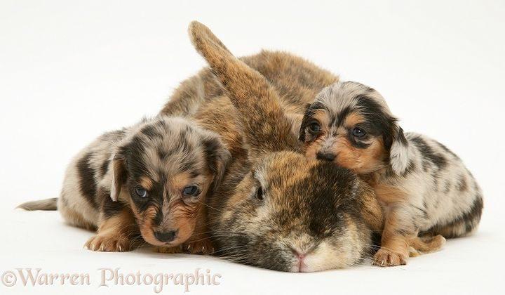 Silver dapple miniature Dachshund pups with tortoiseshell Dwarf Lop doe rabbit