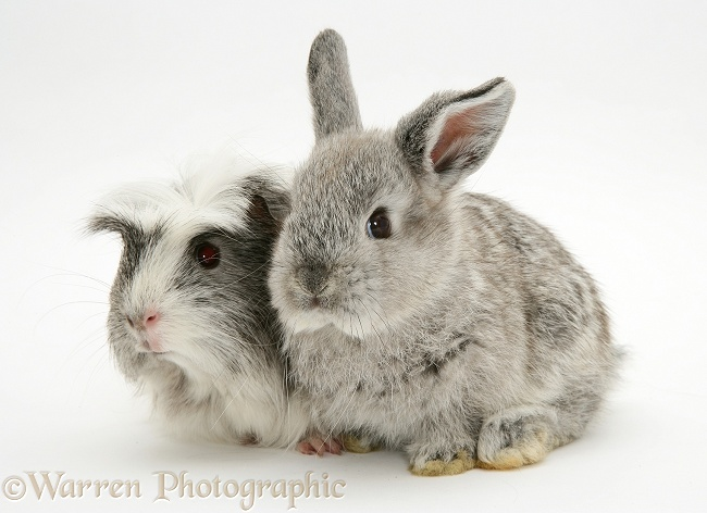 Baby silver Lop rabbit with silver-and-white Guinea pig