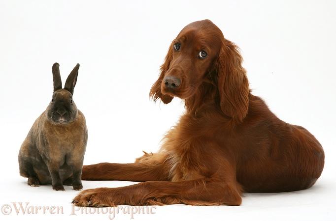 Irish Setter and sooty-fawn dwarf Rex rabbit
