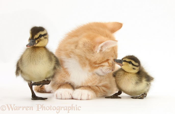 Ginger kitten, Tom, 8 weeks old, and Mallard ducklings