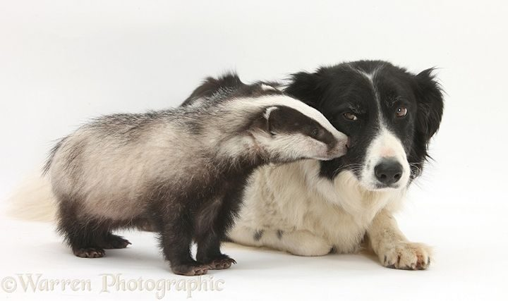 Young Badger (Meles meles) and black-and-white Border Collie, Phoebe