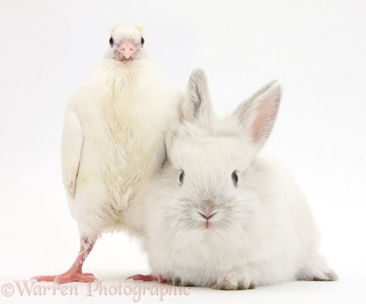 Young white pigeon and baby rabbit