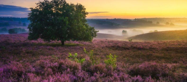 Миниатюра к статье Лиловое очарование вересковых полей