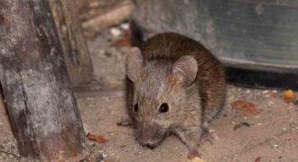 Миниатюра к статье Как избавиться от мышей в квартире навсегда