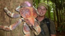 Миниатюра к статье Гигантские раки-отшельники нападают на домашних животных и пугают людей (фото)