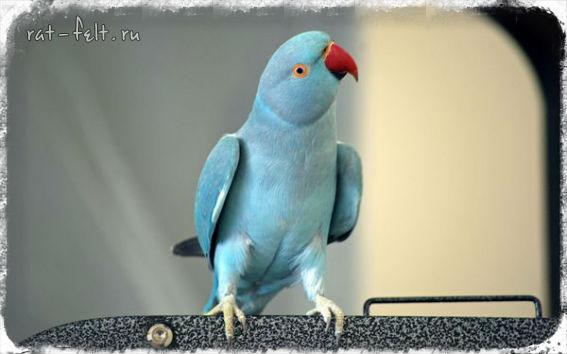 синий ожереловый попугай