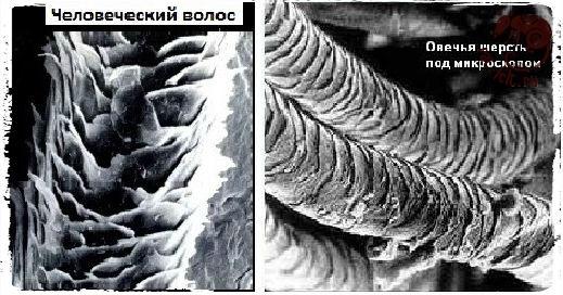 Человеческий волос и овечья шерсть под микроскопом