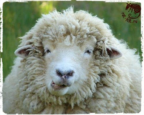 Овца - донор шерсти