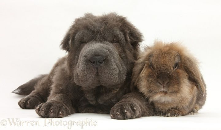 Blue Bearcoat Shar Pei pup, Luna, 13 weeks old, with Lionhead-cross rabbit