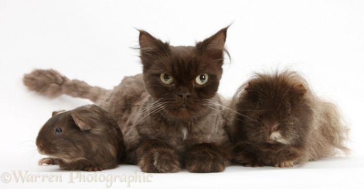 Chocolate cat, Chanel, and sandy-chocolate Guinea pigs