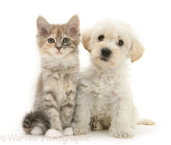 Woodle (West Highland White Terrier x Poodle) pup and Maine Coon kitten
