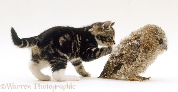 Kitten playing with Tawny Owl (Strix aluco) chick