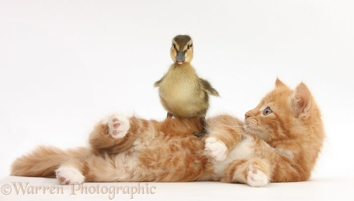 Ginger kitten, Butch, 8 weeks old, and Mallard duckling