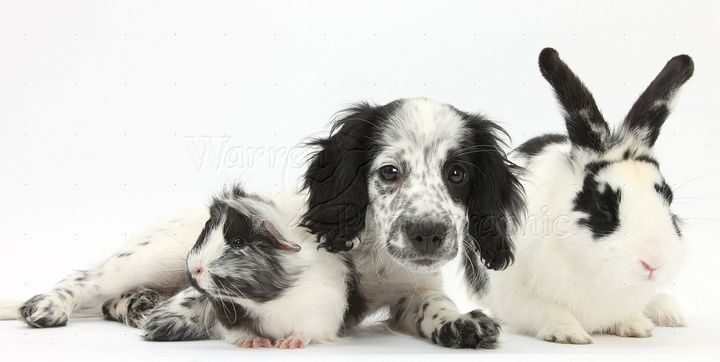 Black-and-white Border Collie x Cocker Spaniel puppy, 11 weeks old, with matching rabbit and Guinea pig