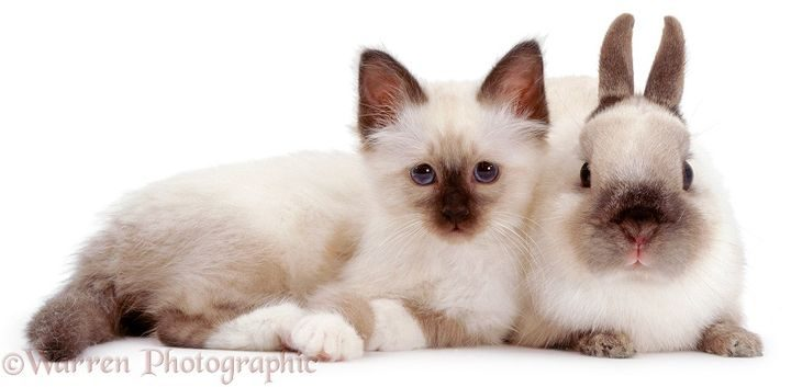 Seal-point Birman kitten Tiffany, with Seal-point Netherland Dwarf adult male rabbit Turbo